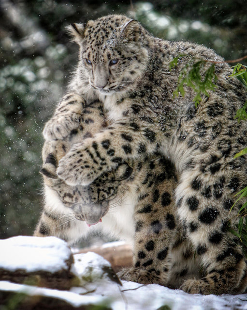 Malaya, right, a six month old Snow Leopard, pounces on her mother Zoe in the snow at the Central Park Zoo Tuesday, January 6, 2015 in New York. (Photo by Chad Rachman/The New York Post)