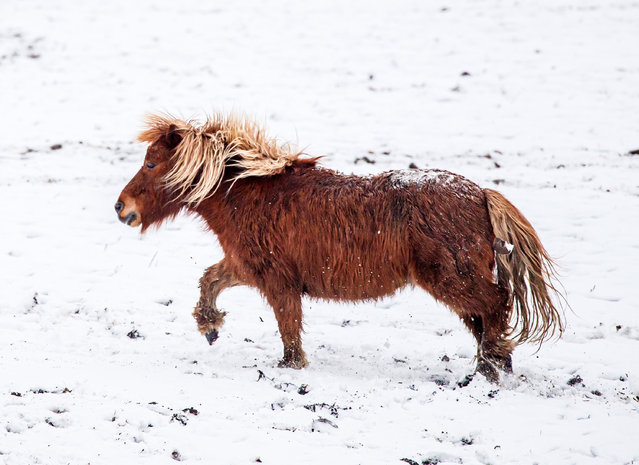 A pony plays in the snow near Millhouse Green in South Yorkshire on Sunday February 7, 2021, with heavy snow set to bring disruption to south-east England and East Anglia as bitterly cold winds grip much of the nation. (Photo by Danny Lawson/PA Images via Getty Images)