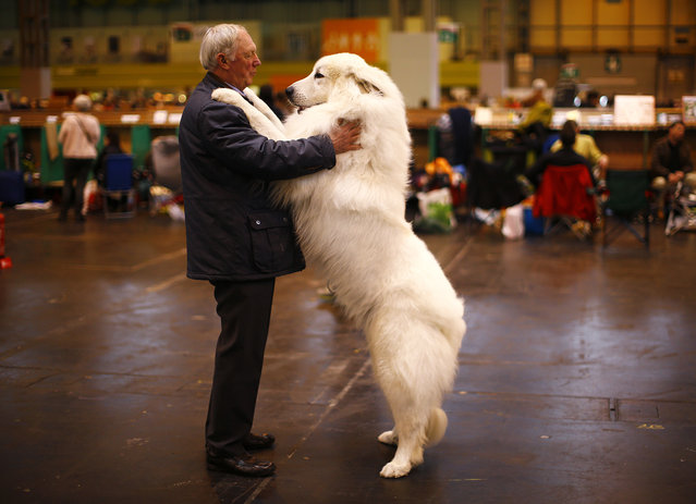 Arthur Ward stands with his Pyrenean Mountain Dog Cody during the first day of the Crufts Dog Show in Birmingham, central England, March 5, 2015. (Photo by Darren Staples/Reuters)