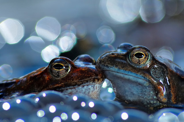 Two European common brown frogs, Aveto Regional Natural Park, Italy. Gold prize in behaviour – amphibians and reptiles. (Photo by Vittorio Ricci/World Nature Photography Awards)