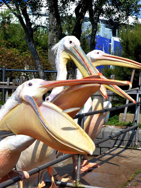 Pelicans wait for food with open beaks during feeding time in the bird park in Yokohama, Japan, on August 21, 2013. (Photo by AFP Photo)