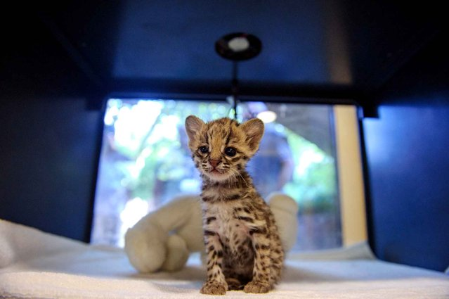 A tiger cub named Santana peers out from its box at a Zoo in Mulhouse, France on September 23, 2013. (Photo by Sebastien Bozon/AFP Photo)