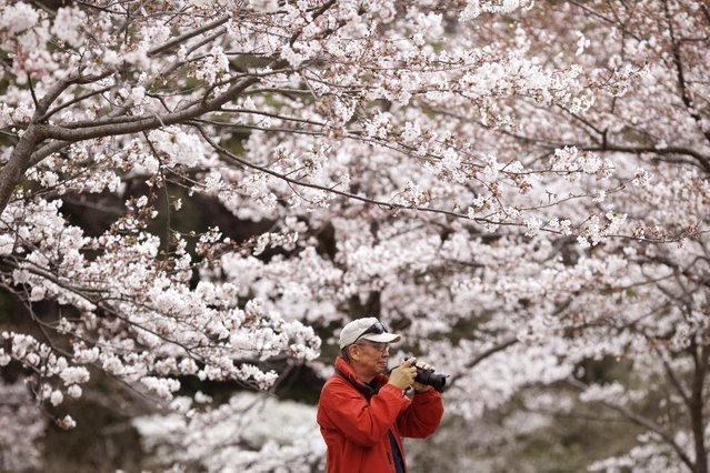 A visitor takes a picture of blooming cherry blossoms at Sankeien Park in Yokohama, south of Tokyo, Sunday, March 29, 2015. (Photo by Shuji Kajiyama/AP Photo)