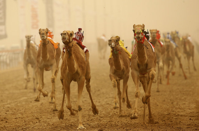 Camels race during Al Marmoom Heritage Festival at the Al Marmoom Camel Racetrack on April 2, 2015 in Dubai, United Arab Emirates. (Photo by Francois Nel/Getty Images)