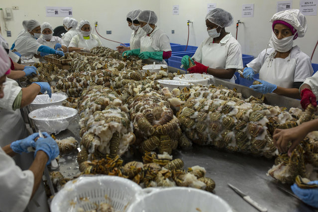 In this January 27, 2018 photo, women package frozen lobsters to export to the US, in a factory in La Ceiba, Honduras. The lobster industry, which generated $40 million in sales for Honduras in 2017, nearly all of it for the U.S. market. (Photo by Rodrigo Abd/AP Photo)