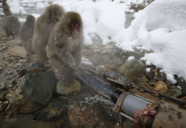 Japanese Macaques (or Snow Monkeys) gather on a water supply pipe for a hot spring at a snow-covered valley in Yamanouchi town, central Japan January 20, 2014. (Photo by Issei Kato/Reuters)