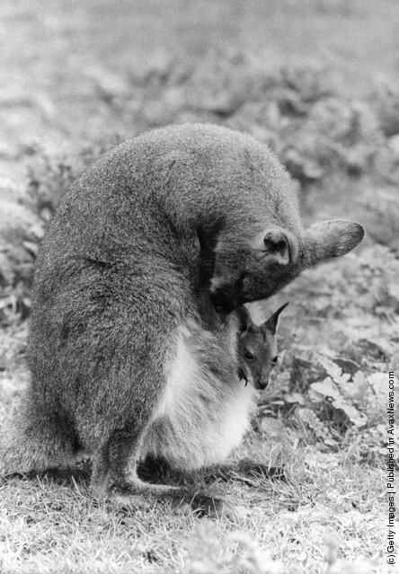1980: A Bennett Wallaby mother and child