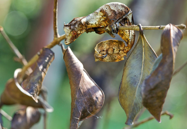 Satanic leaf-tailed gecko. (Photo by Paul Bertner/Caters News)