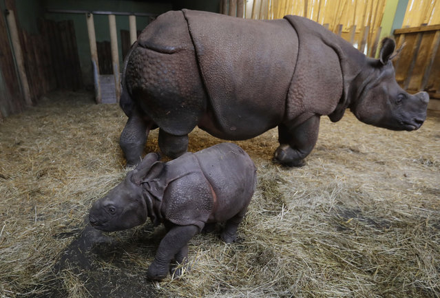 A newly born baby Indian rhino walks next its mother Manjula in their enclosure at the zoo in Plzen, Czech Republic, Friday, February 24, 2017. (Photo by Petr David Josek/AP Photo)