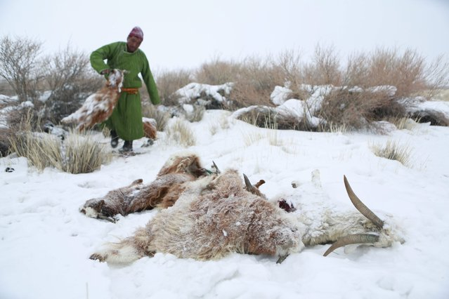 A picture made available on 06 April 2016 shows Mongolian herder Zagirjaw disposing carcasses of livestock in the snow in Uvs province, west of Mongolia, 21 March 2016. Hundreds of thousands of farm livestock have died during a natural disaster called dzud or zud in Mongolia where a summer drought is followed by heavy winter snowfall, destroying pastures and grasslands. Temperatures could go as low as minus 40 degrees celsius in the evening and some of the herders unprepared for the extreme cold have lost half their livestock. (Photo by Davaanyam Delgerjargal/EPA)