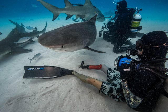 But the tiger sharks peacefully mingled among the divers on the Caribbean sea bed. (Photo by Steve Hinczynski/Mediadrumworld)