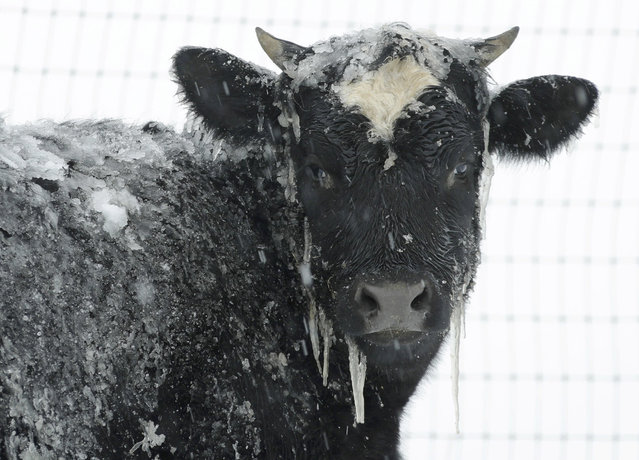 A cow stands in pasture during a winter snow storm, Tuesday, March 14, 2017, in Salisbury, Pa. (Photo by Matt Slocum/AP Photo)