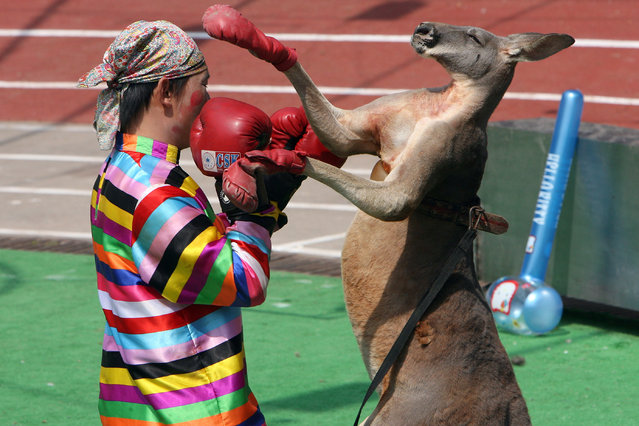 """A clown boxes with a kangaroo during an animals """"Olympics"""" performance in the Shanghai Wild Animal Park, China September 28, 2006. (Photo by Nir Elias/Reuters)"""