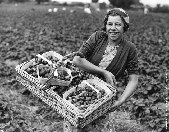 1932: A fruit picker at a strawberry farm in Colchester, Essex,  with a large basket full of strawberries which will be sent to the Bournville chocolate factories near Birmingham