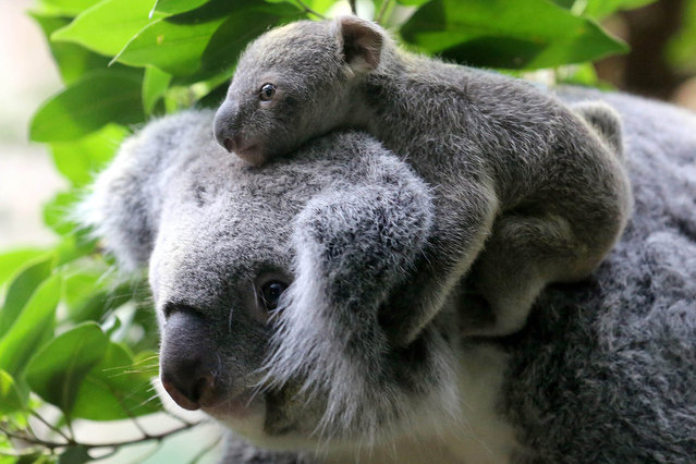 An around six-month-old still nameless baby koala sits on its mother's head at the zoo in Duisburg, Germany, 22 January 2014. The female baby was taken from its mother's pouch to be weighed. It weighed 350 grams. (Photo by Roland Weihrauch/EPA)