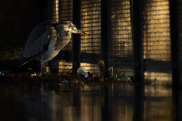 Overall winner and urban wildlife category winner. Behind Bars (grey heron) by Daniel Trim from Hitchin, Hertfordshire.Grey herons thrive around London's wilder waterways, but they also do well in more urban settings such as the smaller parks and canals, despite the litter and large numbers of people walking by. This individual was hunting in the cover of a bridge – presumably the fish were taking shelter among the fallen leaves and plastic bottles. The morning light shining through a grill gives the impression that the bird is trapped as it gazes out through the mesh. (Photo by Daniel Trim/British Wildlife Photography Awards/PA Wire Press Association)