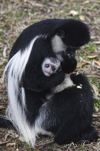 """Four week old baby Black and White Colobus Monkey """"Halle"""" holds on to her mother Safi at the National Zoo in Canberra, Australia, 02 July 2015. (Photo by Lukas Coch/EPA)"""