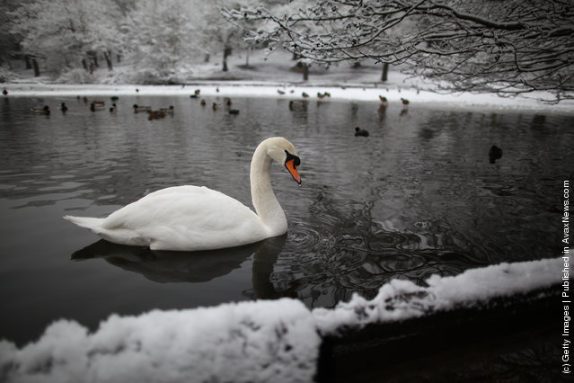 A swan paddles in Queen's Mere pond on Wimbledon common on February