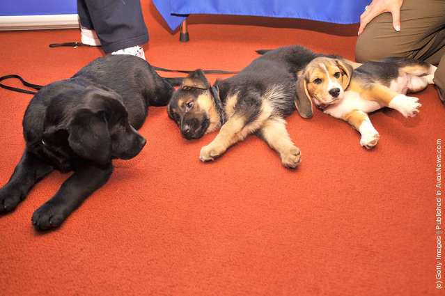 (L-R) Brooklyn's Deli, a black Labrador Retriever pup, Ziva, a German Shepherd pup and Jag, a Beagle pup attend as American Kennel Club announces Most Popular Dogs in the U.S. at American Kennel Club Offices