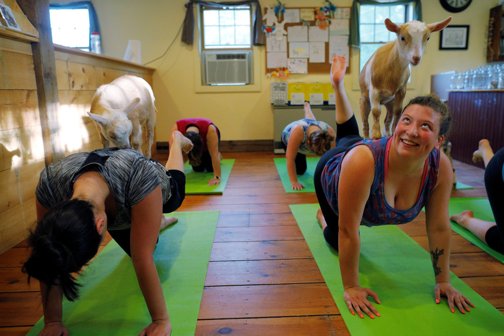 Yoga with Goats
