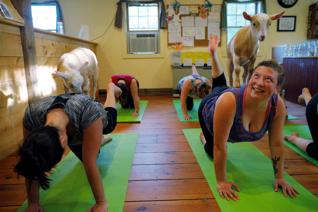 Goats climb on students during a yoga class with eight students and five goats at Jenness Farm in Nottingham, New Hampshire, U.S. on May 18, 2017. Tucked away in a wooded corner of southern New Hampshire, Jenness Farm is the latest small U.S. agricultural operation to cash in on the social media-driven trend, in which yoga enthusiasts practice moves like the cat pose and bridge pose while goats climb around and sometimes on them. (Photo by Brian Snyder/Reuters)