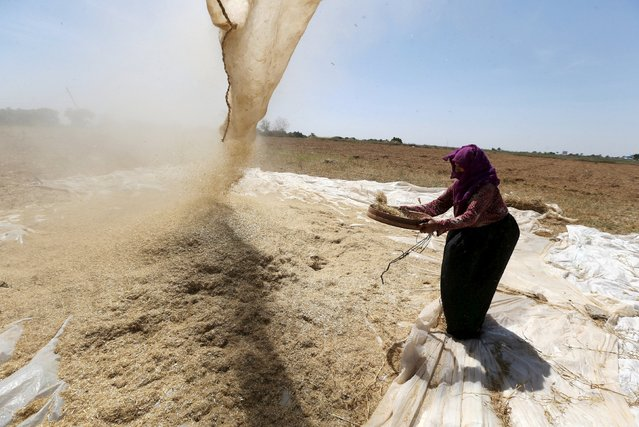 A Palestinian woman refines grinded barley during harvest on a farm in Khan Younis in the southern Gaza Strip April 25, 2016. (Photo by Ibraheem Abu Mustafa/Reuters)