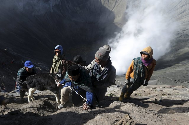 Villagers lead a calf up a slope after catching it shortly after Hindu worshippers attempted to throw it into the crater of Mount Bromo as an offering during the Kasada Festival in Probolinggo, Indonesia's East Java province, August 1, 2015. (Photo by Reuters/Beawiharta)