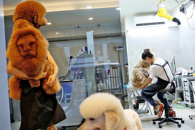 A dog with a lion head cut into its fur (L) is seen at a pet shop, in Tainan, Taiwan June 19, 2016. (Photo by Tyrone Siu/Reuters)