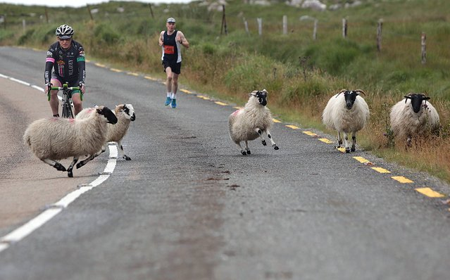 Baaaad move...mountain sheep being herded off the roadway by cyclist Brendan Cassidy who was escorting Marathon winner Eugene McCarthy, who lead the race for 26.2 miles, and finished in a time of 02:47:32 in the annual Run Killarney Festival, starting outside Sneem Village, through Molls Gap and into Killarney National Park. Over 2000 athletes competed in The Run Killarney festival, on Saturday, organised by Elite Management, with 3 great races – a full Marathon, Half Marathon and 10Km. (Photo by Valerie O'Sullivan)