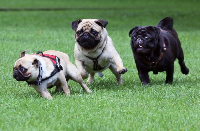 Three pugs play with each other at the international Pug Meeting in Berlin, Germany