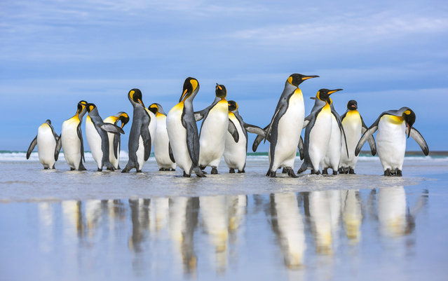 King Penguins marching along the sand in the Falkland Islands. (Photo by Wim van den Heever/Caters News)