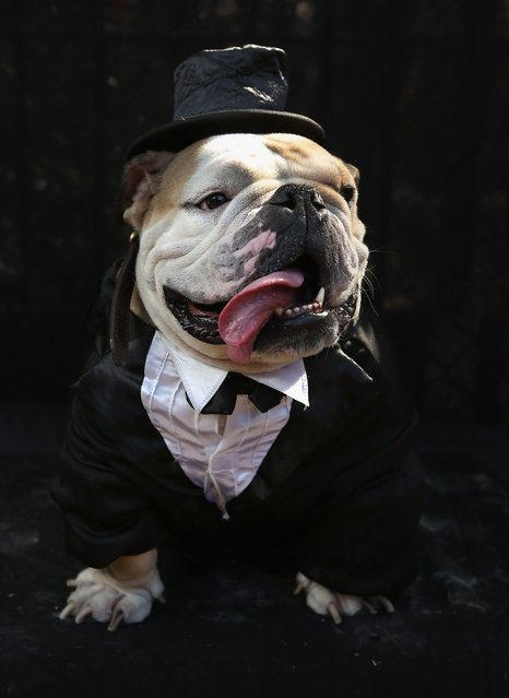 Meatball, a bulldog, poses in a tuxedo at the Tompkins Square Halloween Dog Parade on October 20, 2012 in New York City. Hundreds of dog owners festooned their pets for the annual event, the largest of its kind in the United States.  (Photo by John Moore)