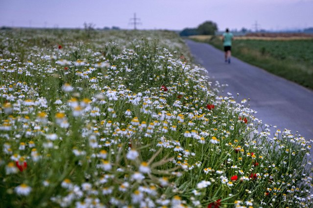 A man runs along a field of marguerites on the outskirts of Frankfurt, Germany, early Monday, June 15, 2020. (Photo by Michael Probst/AP Photo)