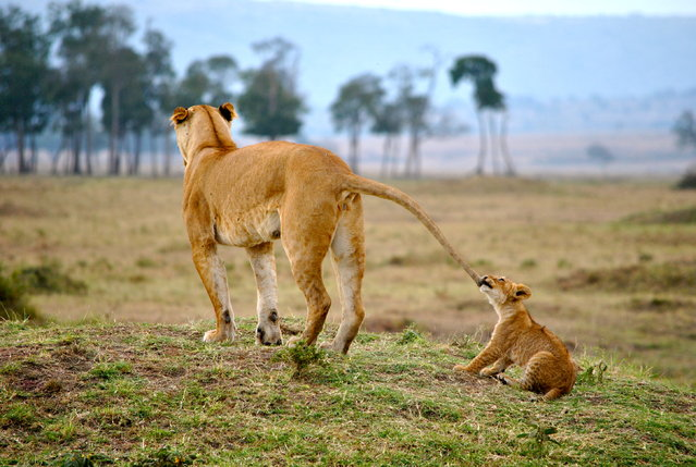 """A Mothers Tail"". A baby cub pulls on his mother's tail to get attention. Photo location: Masai Mara, Kenya. (Photo and caption by Tori Marsh/National Geographic Photo Contest)"