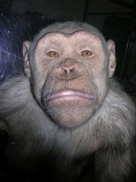 Twycross Chimpanzee. (Photo by Skoop102)