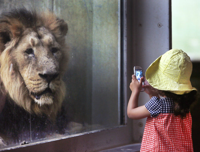A little girl takes a picture of a lion in the zoo in Frankfurt, Germany, Tuesday, September 13, 2016. (Photo by Michael Probst/AP Photo)