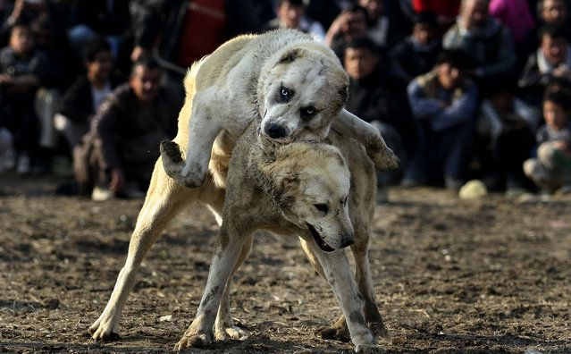 Spectators watch a dogfight in Kabul, Afghanistan.  Dog fighting is a popular pastime among Afghans during the winter season, as public matches are held every Friday, which is the official weekly holiday in Afghanistan. (Photo by Ali Hamed Haghdoust/Associated Press)