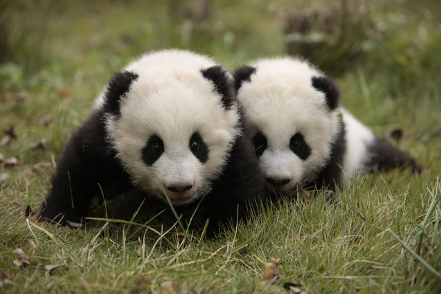 Giant panda twins Maozhu and Maosun play at the Giant Panda Research Base in Chengdu, Sichuan province, November 20, 2014. (Photo by Reuters/China Daily)