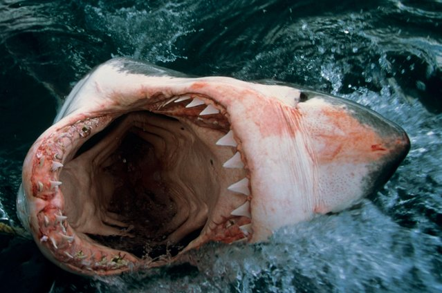 Open jaws of a Great White Shark Carcharodon Carcharias, South Africa. (Photo by  Stephen Frink Collection/Alamy Stock Photo)