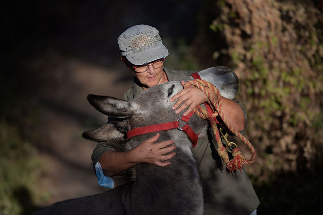 "Cristina Marino, 63, health worker at the Juan Ramon Jimenez Hospital in Huelva, and coordinator of the 'El burrito Feliz' (The Happy Donkey) association, hugs a donkey named Magallanes at the ""Bosque Encantado"" (Enchanted Forest) in Hinojos, south of Spain, on September 8, 2020 as part of a donkey-therapy. Created by Luis Manuel Bejarano, president of the ""El burrito Feliz"" (The Happy Donkey) association in Andalusia, the ""Doctor Burro"" (Donkey Doctor) emotional therapy is being used to treat the stress of health workers who have been dealing with the coronavirus pandemic. (Photo by Cristina Quicler/AFP Photo)"