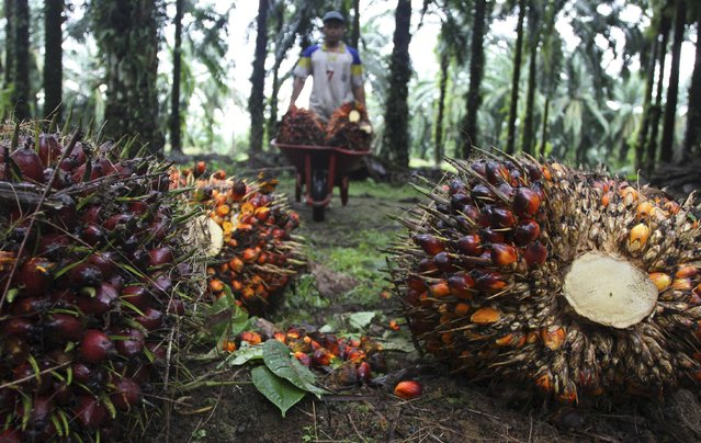 A worker collects palm fruit at a plantation owned by a private company in Langkat, in Indonesia's north Sumatra province, in this November 1, 2012 file picture. A prolonged fall in the price of palm oil is hitting Indonesia's legions of smallholder farmers, forcing cutbacks that will reduce output in coming years and raising the prospect of a bout of sell-outs to major producers. Smallholder farmers account for about 40 percent of output from Indonesia's vast plantations that cover an area the size of South Korea. (Photo by Roni Bintang/Reuters)