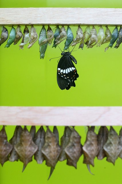 """A butterfly emerges from its chrysalis in the """"Sensational Butterflies"""" exhibition at the Natural History Museum on March 25, 2013 in London, England. The live, tropical butterfly house will be stationed on the Natural History Museum's east lawn from March 29, 2013 until September 15, 2013. (Photo by Oli Scarff)"""