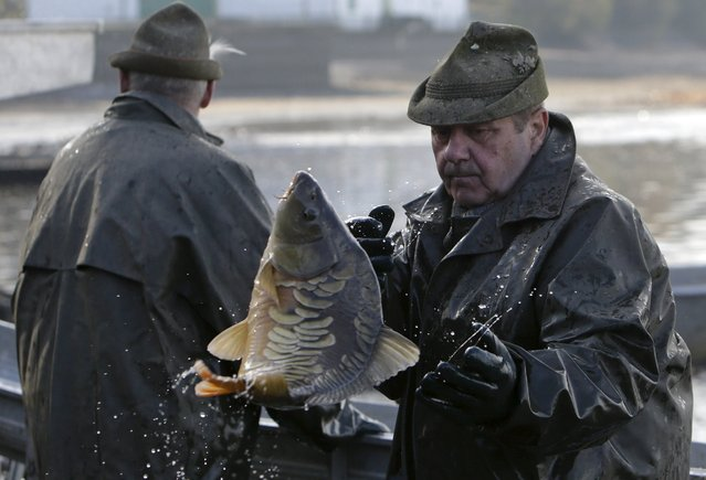 A fisherman throws a fish during the traditional carp haul in the village of Smrzov, near the south Bohemian town of Trebon, Czech Republic, November 2, 2015. Carp harvest starts in October ahead of the forthcoming Christmas season. (Photo by David W. Cerny/Reuters)