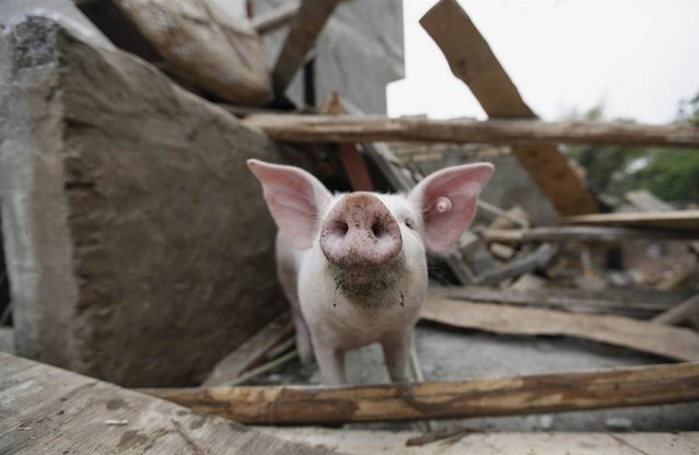 A pig is seen in a damaged pigsty on the second day after an earthquake hit the Longmen township of Lushan County, China, on April 21, 2013. (Photo by Jason Lee/Reuters)