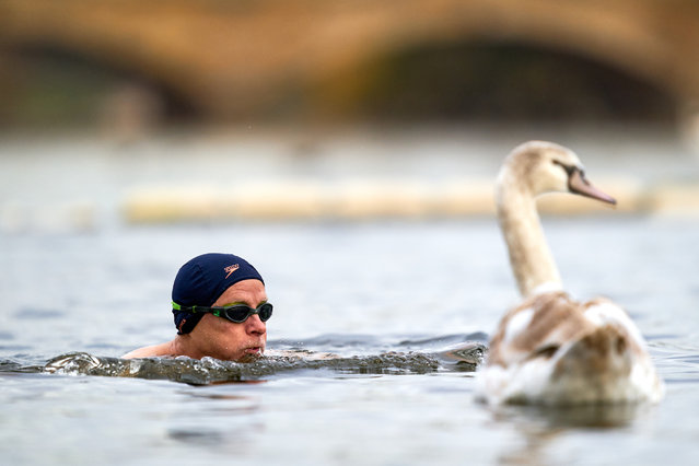 A swimmer passes a Swan in Open Water at Serpentine Swimming Club on December 2, 2020 after the second national lockdown ends and England has a strengthened tiered system of coronavirus restrictions. (Photo by John Walton/PA Images via Getty Images)