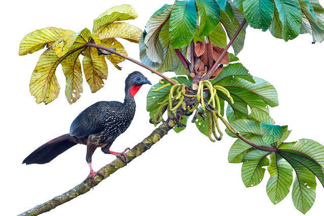 Highly commended birds : Crested guan by Tim Hunt (UK). 'This photo shows a crested guan in the cloud forests of Costa Rica as it pauses while foraging on a lone branch. Due to the clouds that are so typical for this habitat, I could often only photograph the bird's silhouette against a grey sky. (Photo by Tim Hunt/GDT European Wildlife Photographer of the Year 2015)