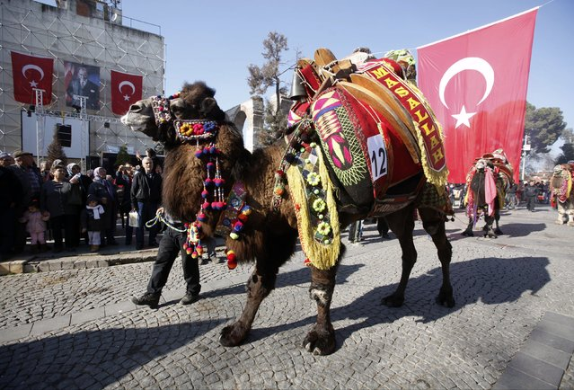 A camel owner stands next to his camel as he waits for the start of the Camel Beauty Contest ahead of the annual Selcuk-Efes Camel Wrestling Festival in the town of Selcuk, near the western Turkish coastal city of Izmir January 17, 2015. Thousands of enthusiasts visit the city through the weekend to watch wrestling between Dromedary camels, who are bred specially for the annual Selcuk-Efes Camel Wrestling Festival. (Photo by Osman Orsal/Reuters)