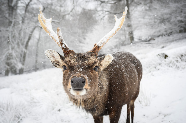 A deer is seen in the snow on Knole Park on February 07, 2021 in Sevenoaks, England. Heavy snow in Scotland and South East England over this weekend kick start a week of freezing temperatures across many parts of the UK. (Photo by Leon Neal/Getty Images)