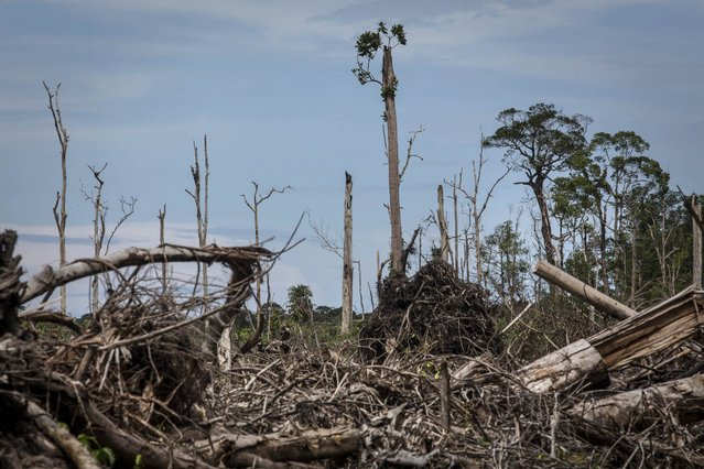 A view of recently land clearing for palm oil plantation of the peatland forest inside Singkil peat swamp Leuser ecosystem, habitat of Sumatran orangutan (Pongo abelii) in Iemeudama village on November 13, 2016 in Trumon subdistrict, South Aceh, Aceh province, Indonesia. (Photo by Ulet Ifansasti/Getty Images)