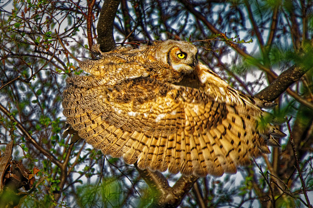 Great horned owl. High River, Alberta, Canada. Gold prize in behaviour – birds. (Photo by Dale Paul/World Nature Photography Awards)
